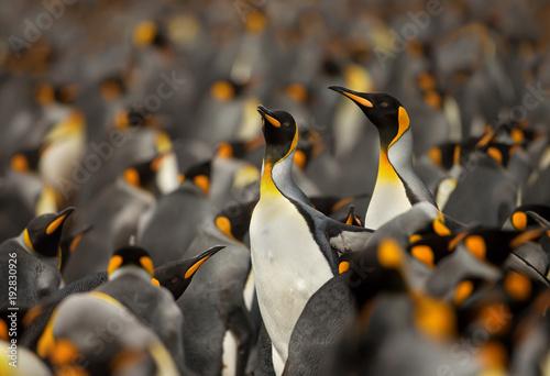 Vászonkép  King penguin colony in the Falkland islands.