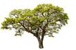 Leinwanddruck Bild - Samanea saman Tree isolated on white background.