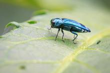Image Of Emerald Ash Borer Bee...