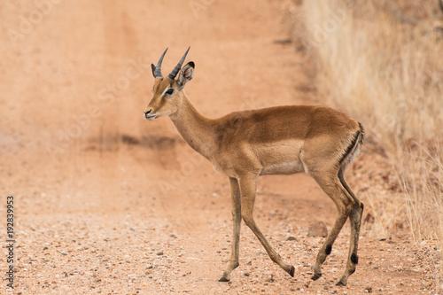 Antelope Natura