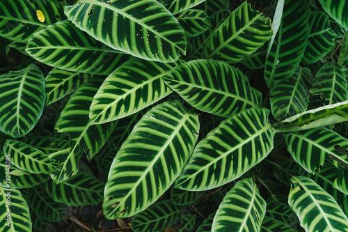 Green leave (Calathea zebrina) textured background. - 192848785