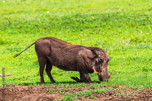 Warthogs in Ngorongoro Conservatio Area, Tanzania. Canvas Print