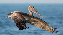 Brown Pelican In Flight (Pelec...