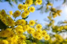 Fleurs De Mimosa, Macro