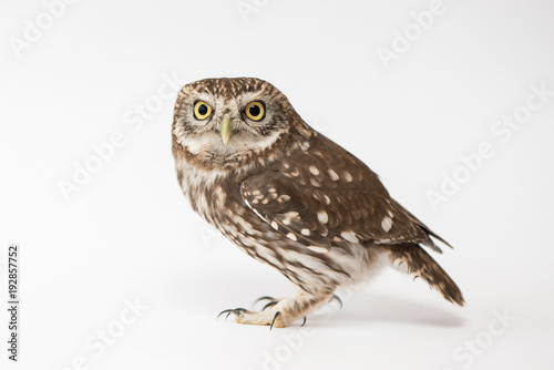 Keuken foto achterwand Uil Little Owl (Athene noctua) standing in front of a white background