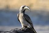 Fototapeta Sawanna - afrykański szary ptak dzioborożec toko nosaty siedzący na konarze