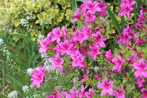 Foto op Canvas Azalea Azalee du Japon variete Purple splendor