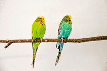 Two Budgerigars Sitting On The...