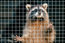 Poor Pity Raccoon Suffering In Zoo And Trying To Get Out Of Cage. Portrait Of Mammal Funny Animal Standing On Back Paws And Looking Different Directions. Wildlife In Eastern Europe. Spiny Thorn Fur.