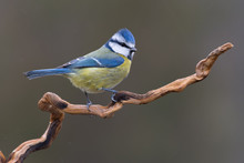 A Nice Bluetit (Cyanistes Caeruleus) Perched On A Branch Against A Dark Background And A Soft Cloudy Light. Taken In A Spanish Forest.