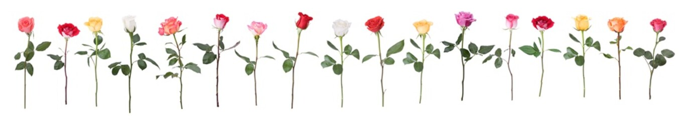Fototapeta Single stem multi colored roses isolated on white
