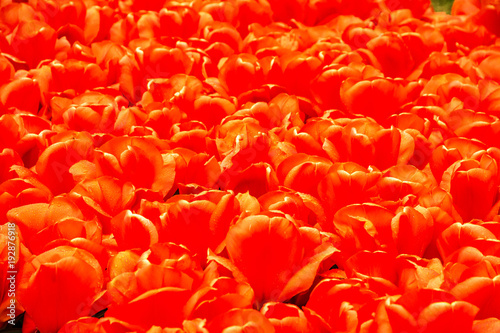 Photo  Tulip red flowers natural background