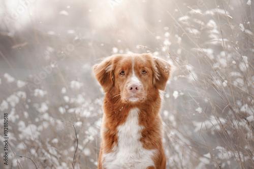 Fotografía Dog in the snow. Nova Scotia duck tolling Retriever
