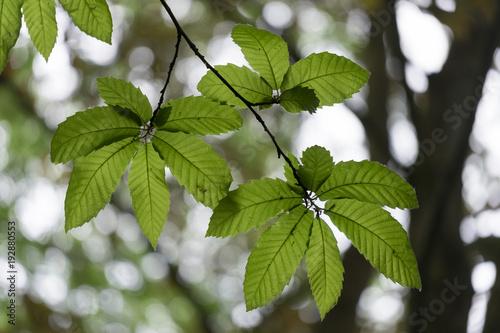 Ast mit Kastanienblättern