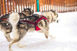 Husky sledge dogs in winter competition