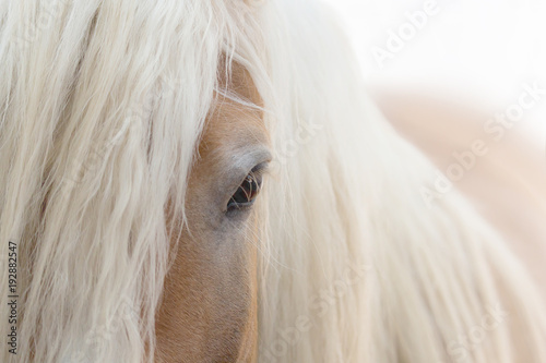 Obraz na płótnie Haflinger Pferd