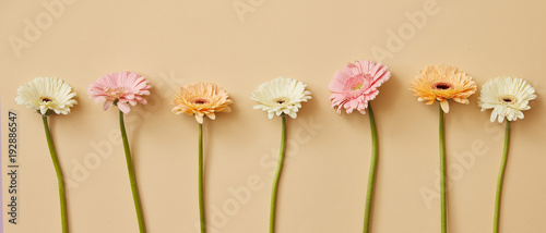 Many different colorful gerbera flowers on a beige background.