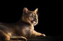 Cougar Portrait On Black Backg...