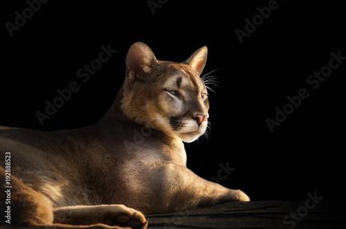 Fototapeta premium portret Puma na czarnym tle