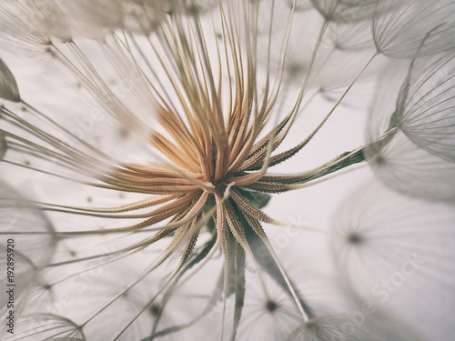 Poster Printemps beautiful summer natural flower dandelion in close-up