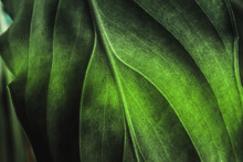 Green Plant Leaf Texture, Macro Shot. Nature Background, Spring Flora