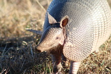 Close Up Of Armadillo