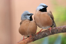 Two Cute Black-throated Or Parson Finches, Poephila Cincta Sitting On A Branch Tightly Together Side By Side