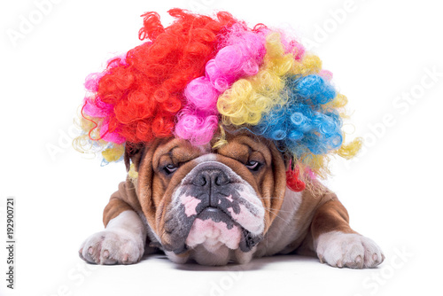 Fotografie, Obraz  Funny and bored English bulldog with clown wig,isolated on white background