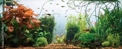 Photo Panoramic view of planted tropical fresh water aquarium with white background