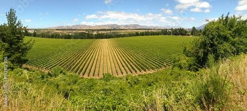 Fotobehang Wijngaard wide angle view of grapevine growing in vineyards in Marlborough region, New Zealand