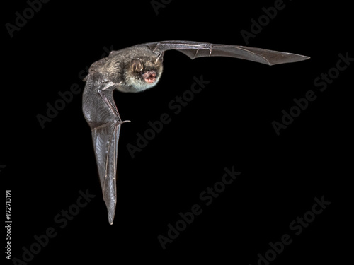 Isolated Flying natterers bat on black background