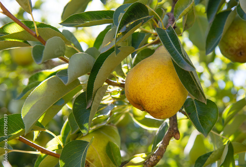 Ripe, yellow, Bartlett pear ready to be picked from the tree Canvas Print