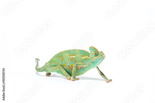 Staande foto Kameleon colorful tropical chameleon crawling isolated on white