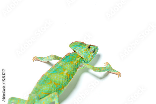 Staande foto Kameleon beautiful colorful tropical chameleon crawling isolated on white