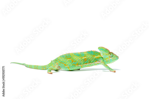 Staande foto Kameleon side view of beautiful colorful tropical chameleon isolated on white
