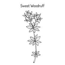 Sweet Woodruff Galium Odoratum , Medicinal Plant.