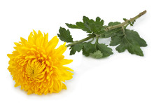 Yellow Chrysanthemum Flower Head