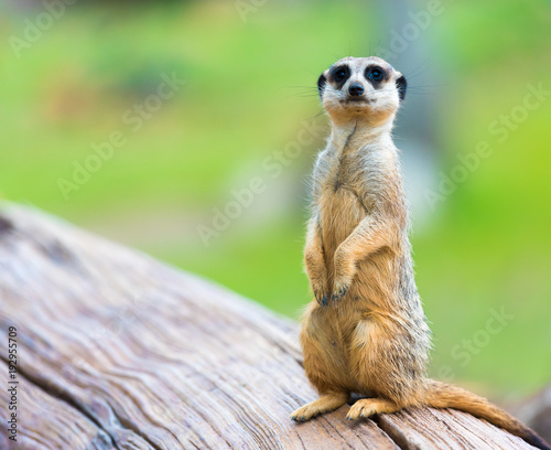 Obraz na plátně  Portrait of Meerkat Suricata suricatta, African native animal, small carnivore b
