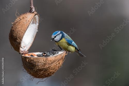 Fotografía  Eurasian blue tit (Cyanistes caeruleus or Parus caeruleus) taking nuts from bird