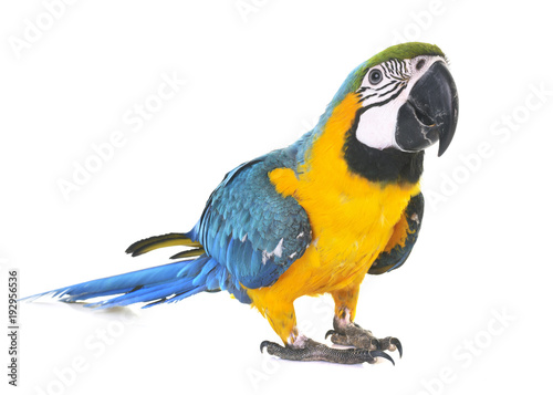 Crédence de cuisine en verre imprimé Perroquets Blue-and-yellow macaw in studio