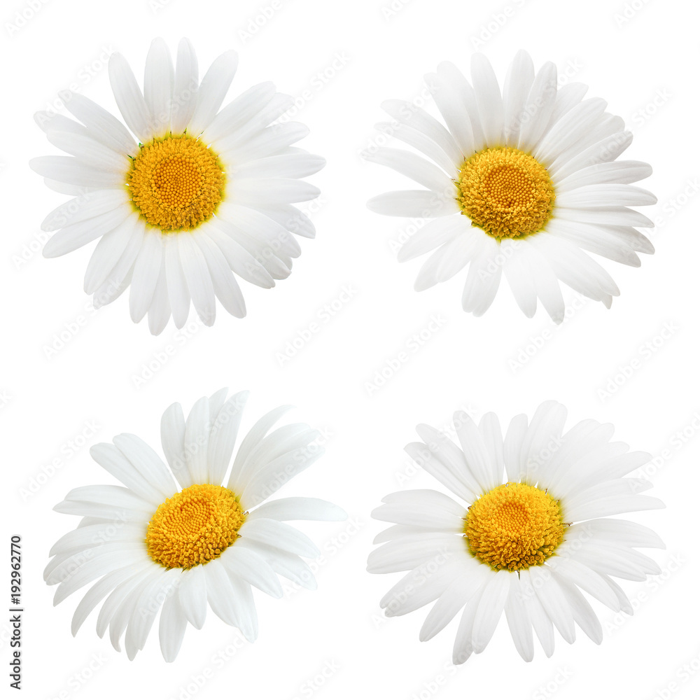 Fototapety, obrazy: Daisy flower isolated on white background as package design element
