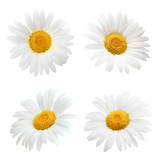 Fototapeta Kwiaty - Daisy flower isolated on white background as package design element