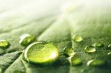 Fototapeta Łazienka - Large beautiful drops of transparent rain water on a green leaf macro. Droplets of water sparkle glare in morning sun . Beautiful leaf texture in nature. Natural background, free space.
