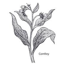 Medical Plant Comfrey.