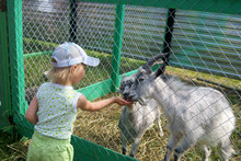 Little Girl Feeding Goats In T...