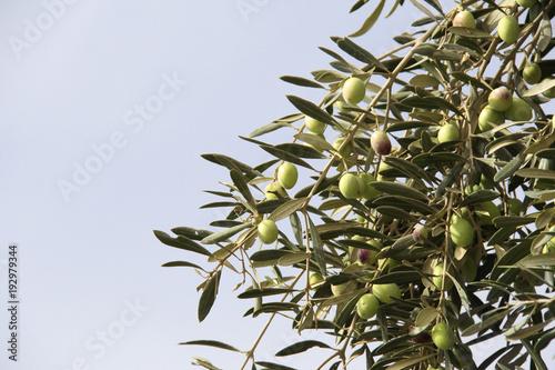 Ripe green olives on olive tree