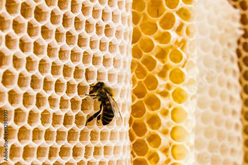 Biene auf Bienenwaben Nahaufnahme Makro