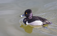 Ring-necked Duck On Pond At Ti...