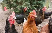 Hühner Auf Dem Bauernhof
