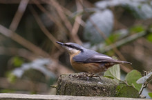 Red-breasted Nuthatch (Sitta C...